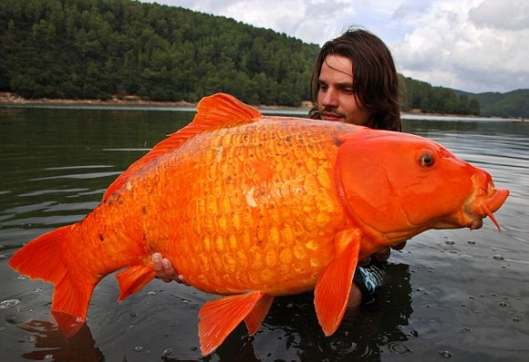 biggest-goldfish