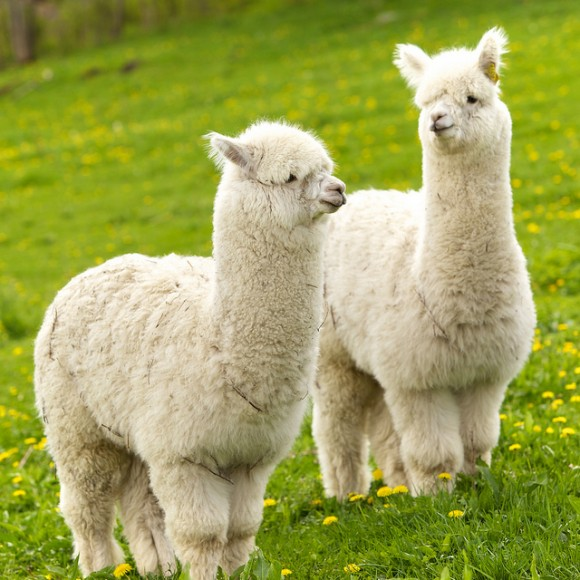 cute-alpaca-photos-02