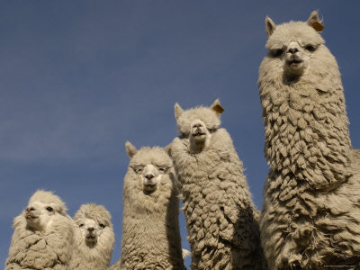 cute-alpaca-photos-03
