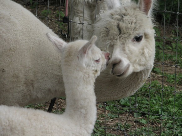cute-alpaca-photos-04