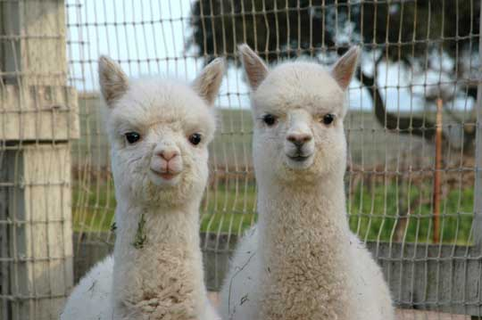 cute-alpaca-photos-05