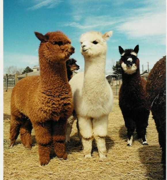 cute-alpaca-photos-06