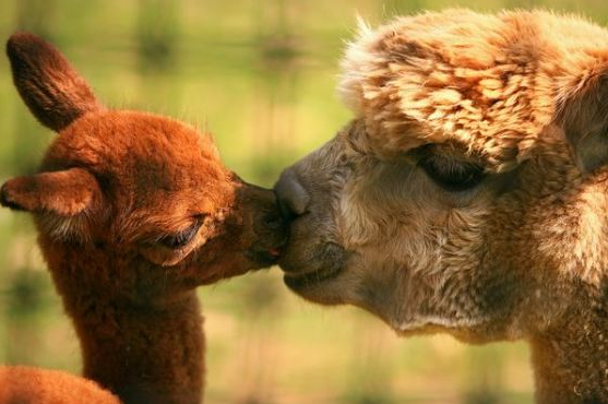 cute-alpaca-photos-08