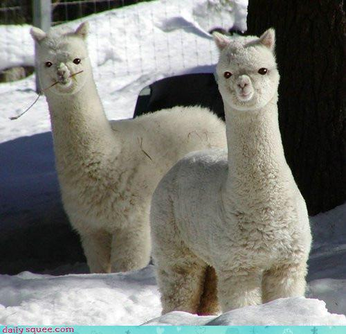 cute-alpaca-photos-09