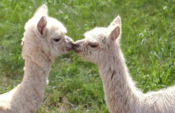 cute-alpaca-photos-10