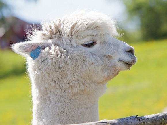 cute-alpaca-photos-11