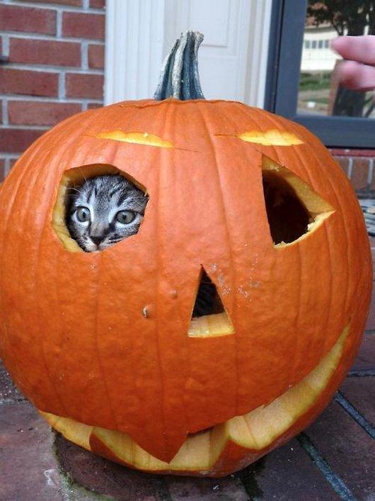 かぼちゃから覗く子猫