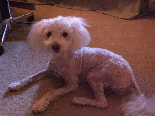 hilarious-dog-haircuts-2