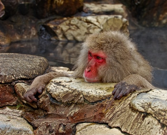 japanese-macaque-winter-02