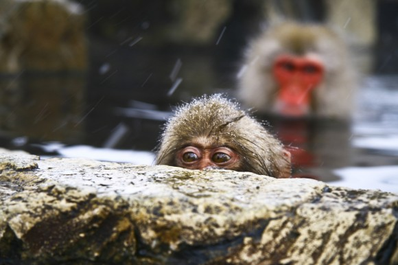 japanese-macaque-winter-03