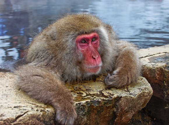 japanese-macaque-winter-05