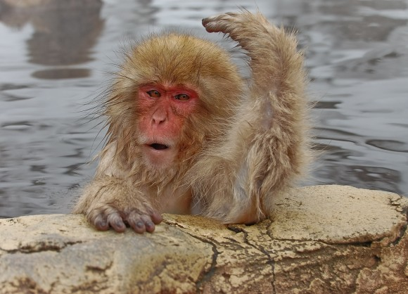japanese-macaque-winter-08