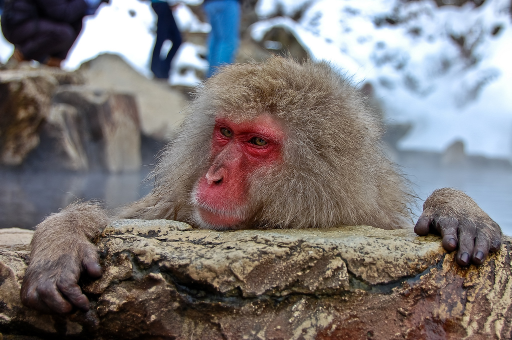 japanese-macaque-winter-12