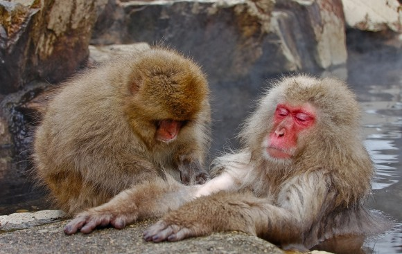 japanese-macaque-winter-13