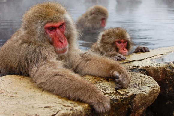 japanese-macaque-winter-15