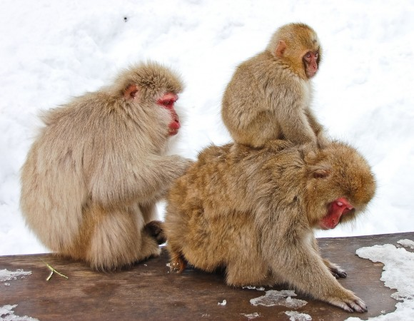 japanese-macaque-winter-19