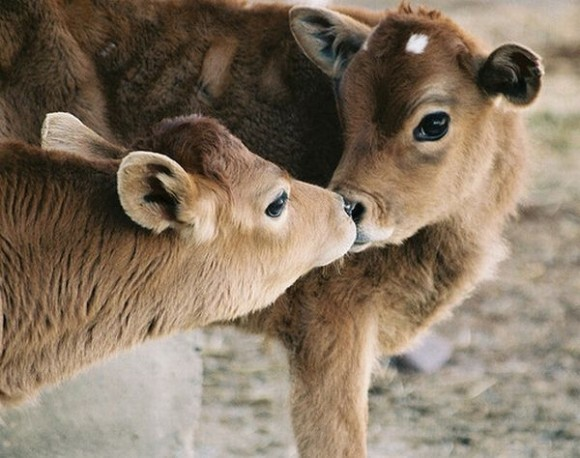 kissing-cute-animals-07