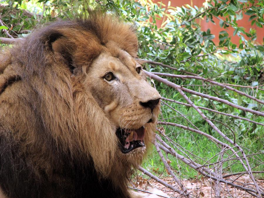 lion-picture