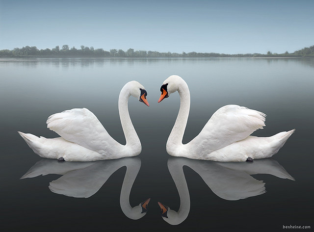 swan-15