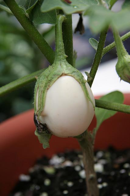 white-aubergine