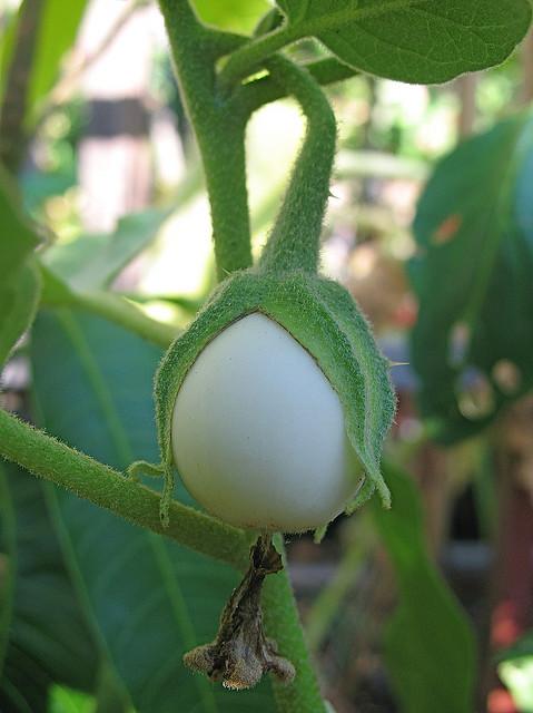 white-egg-plant