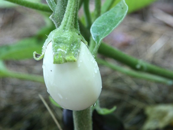 whiteeggplant