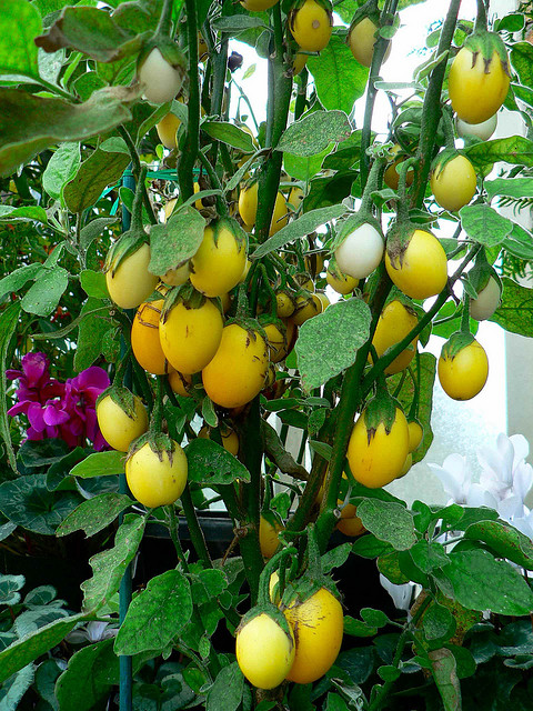 yellow-egg-plants