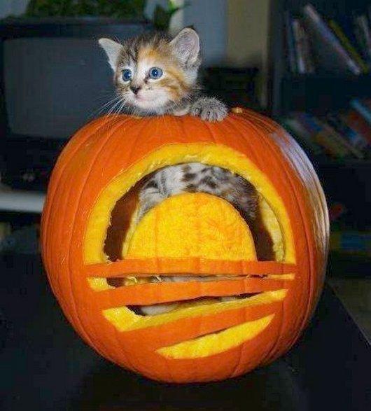 かぼちゃの中に入ったかわいい子猫