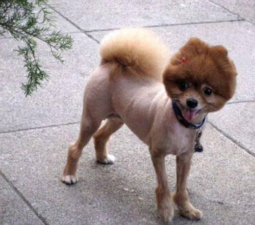 hilarious-dog-haircuts-1