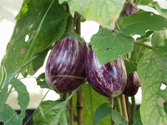 pale-purple-eggplant